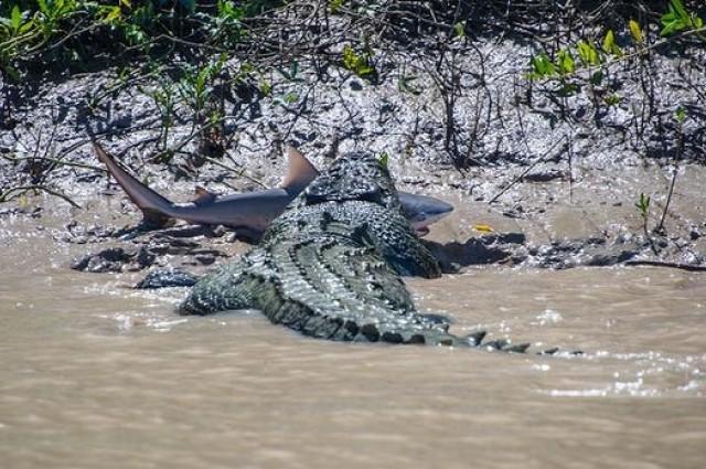 photo credit: Andrew Paice, krokodyl różańcowy, rekin, Australia
