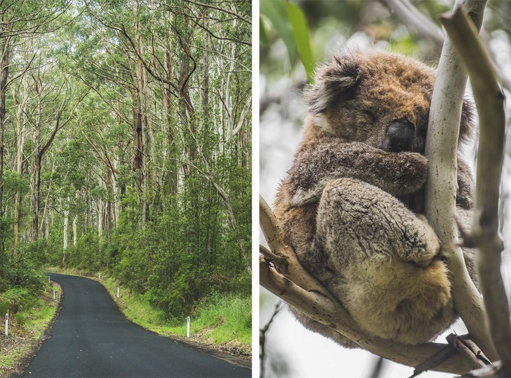 Cape Otway, koale, Australia, Great Ocean Road
