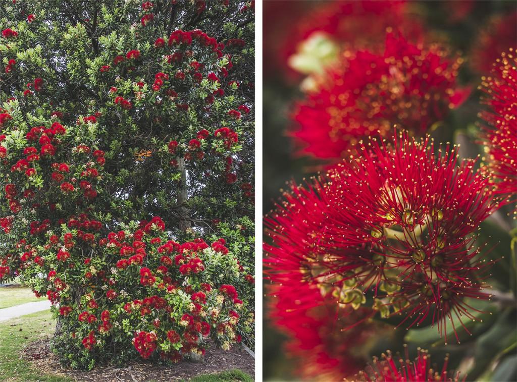 ozdobny eukaliptus, czerwony, Australia, kwiaty