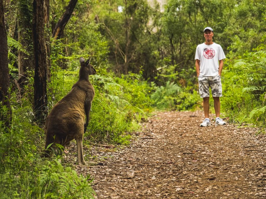 australijskie zwierzęta - kangur