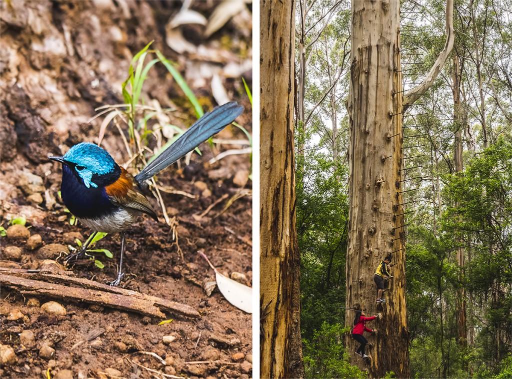 eukaliptusy karri australia zachodnia
