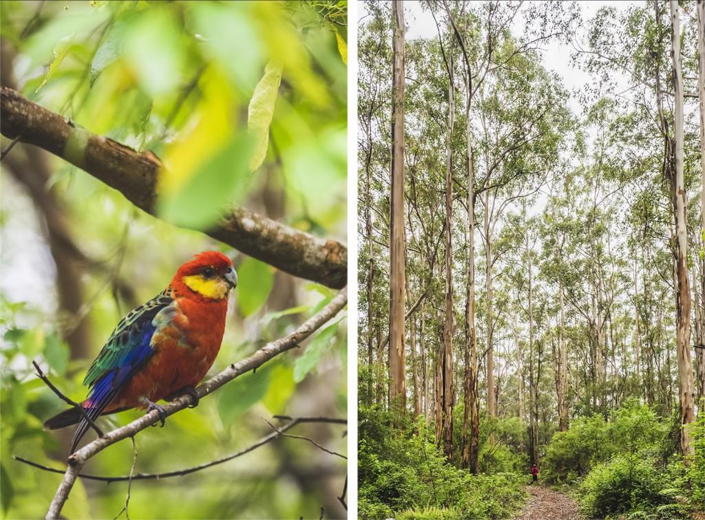 eukaliptusy karri, papuga, Australia Zachodnia