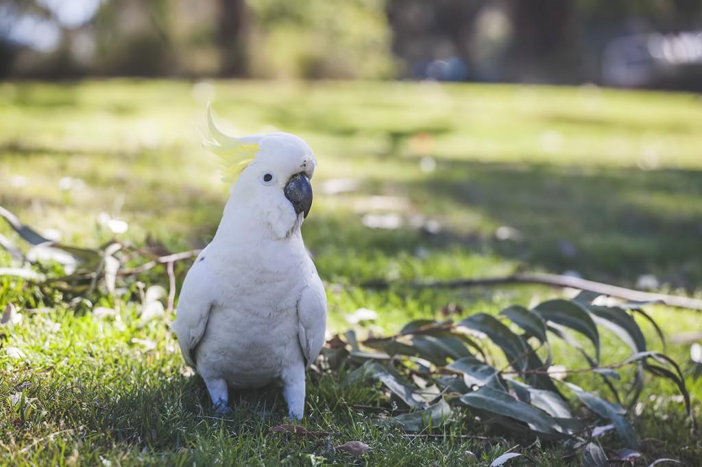 Kakadu, Sydney