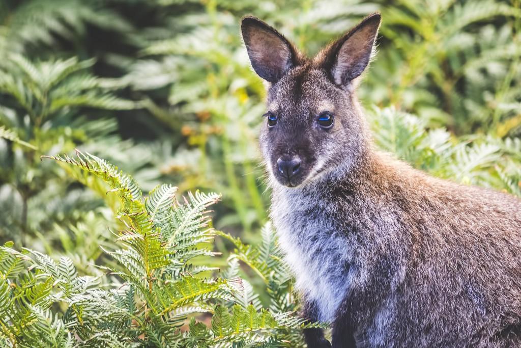 Walabia, Południowa Tasmania