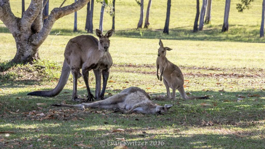 Zdjęcie: Evan Switzer, kangur, australijskie zwierzęta