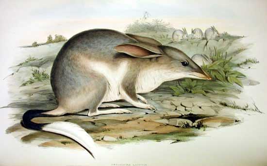 Macrotis lagotis Wielkouch króliczy bilby