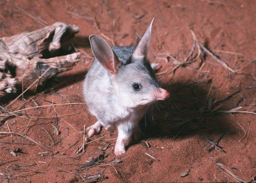 Bilby wielkouch - Wielkanoc w Australii