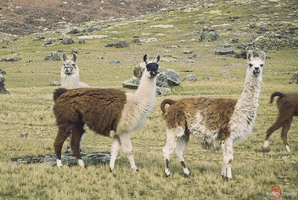 lamy, Ameryka Południowa, Peru