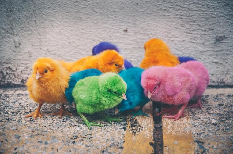 kurczaki Wenezuela