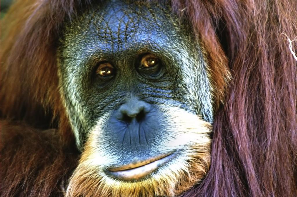 orangutan, Indonezja, wikimedia