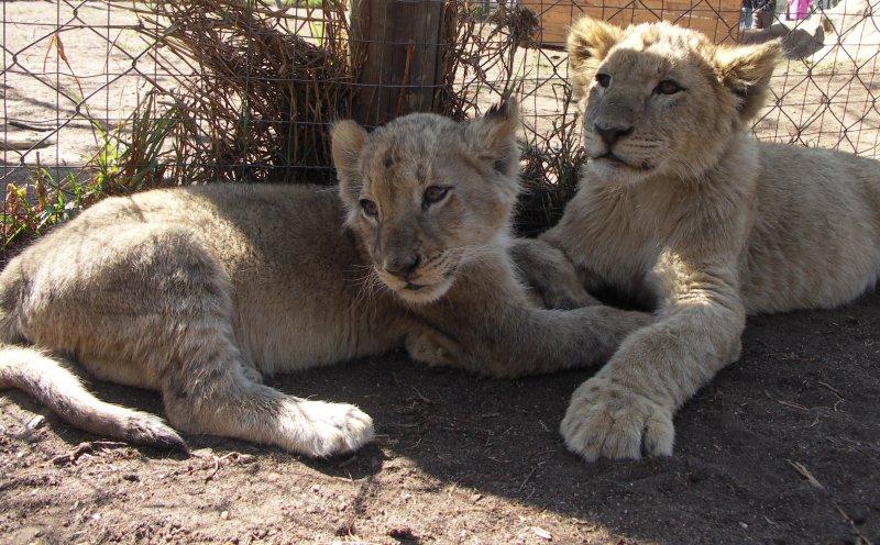 lwy, turystyka, zwierzęta