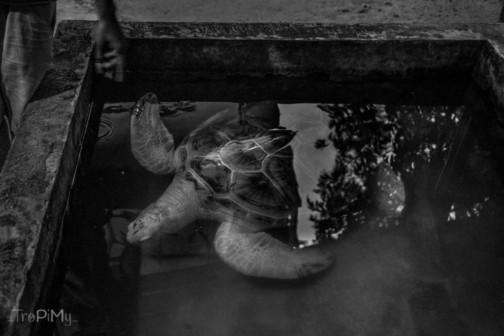 żółwie, Sri Lanka