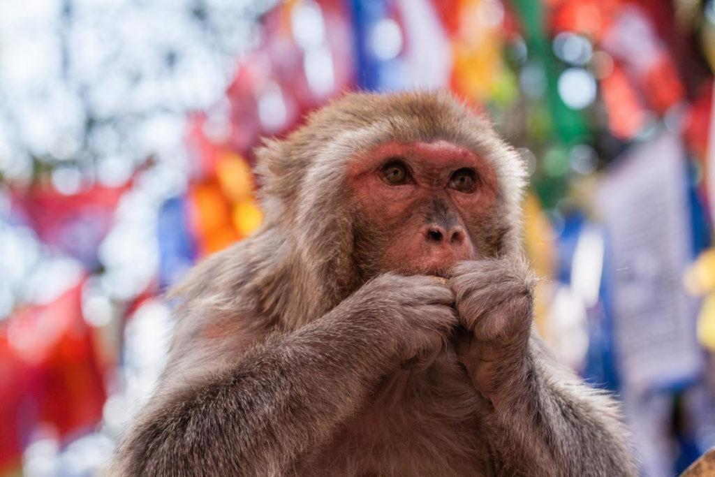 małpy Indie zwierzęta