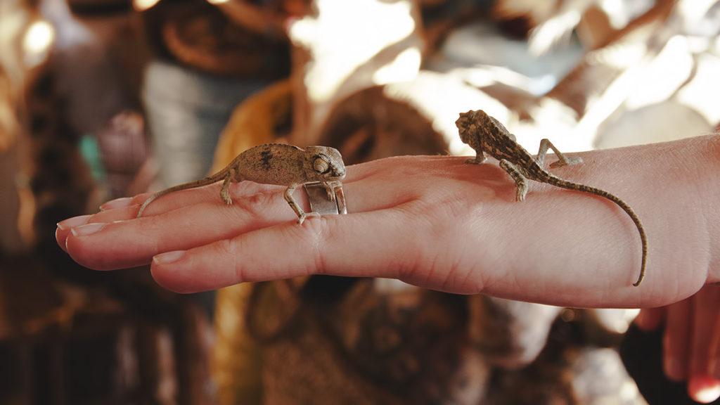 kameleony maroko marakesz przedeptane