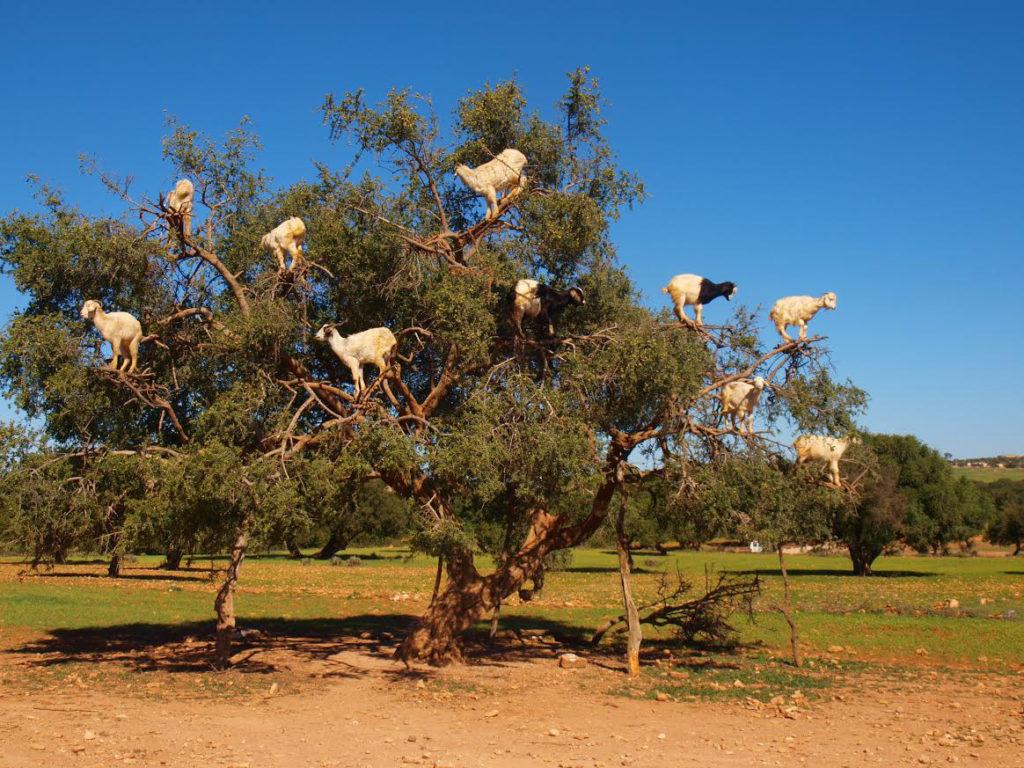 kozy w Maroku zwierzęta