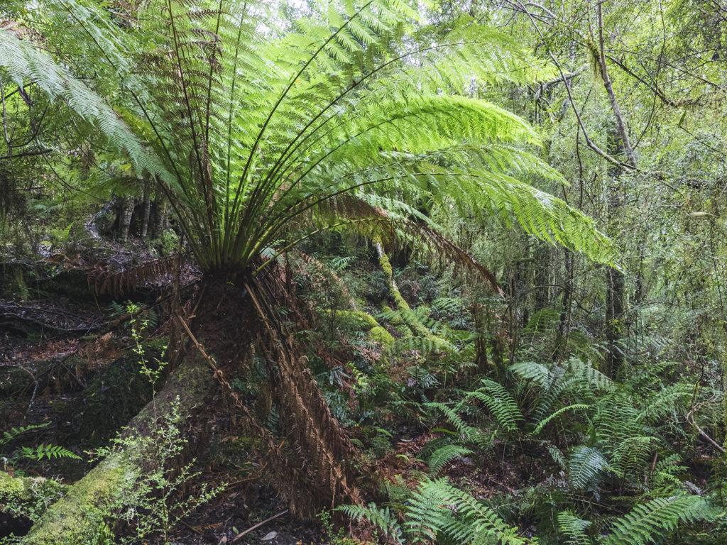 las na Tasmanii, paproć drzewiasta