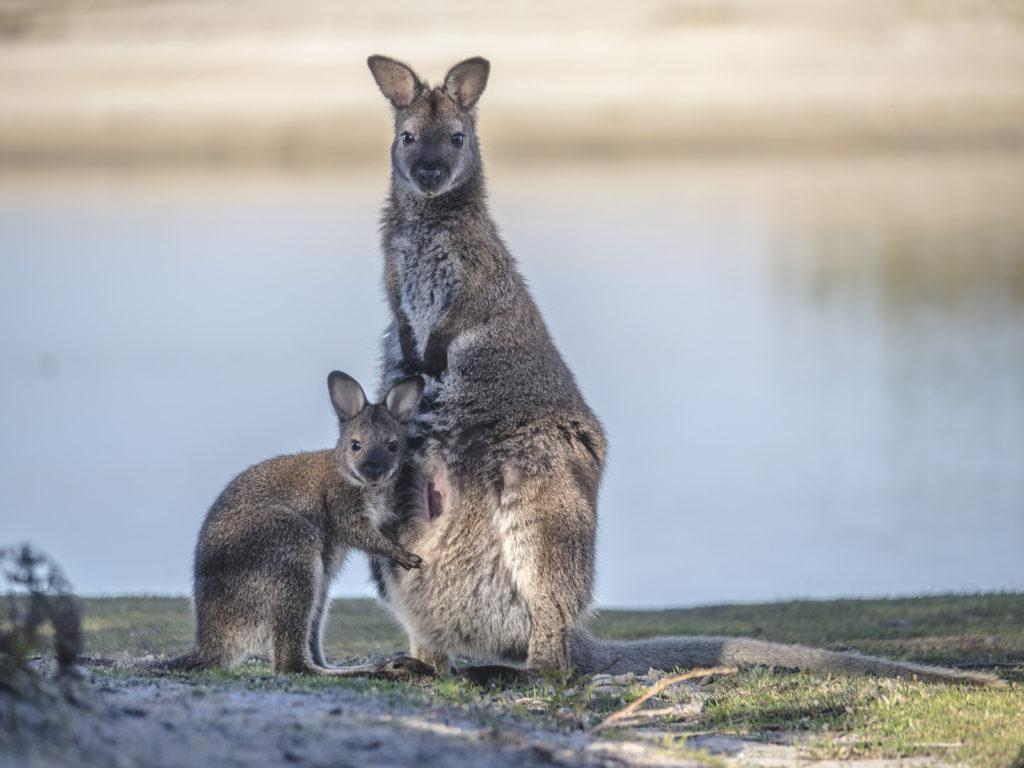 kangur, walabia, Tasmania
