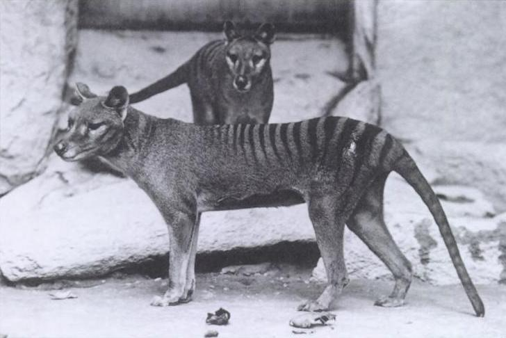 tygrys tasmański wilk