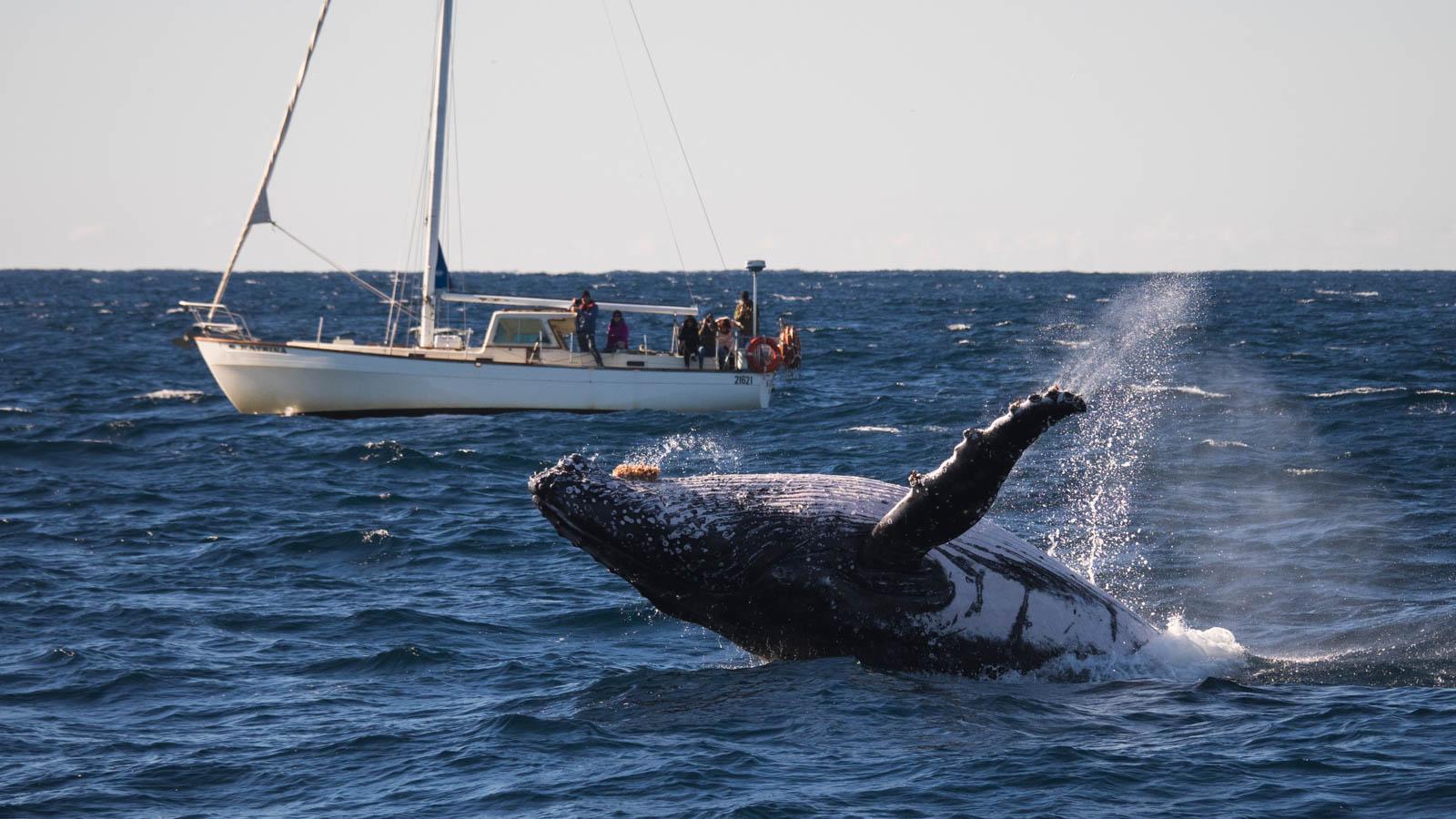 jak duże są wieloryby