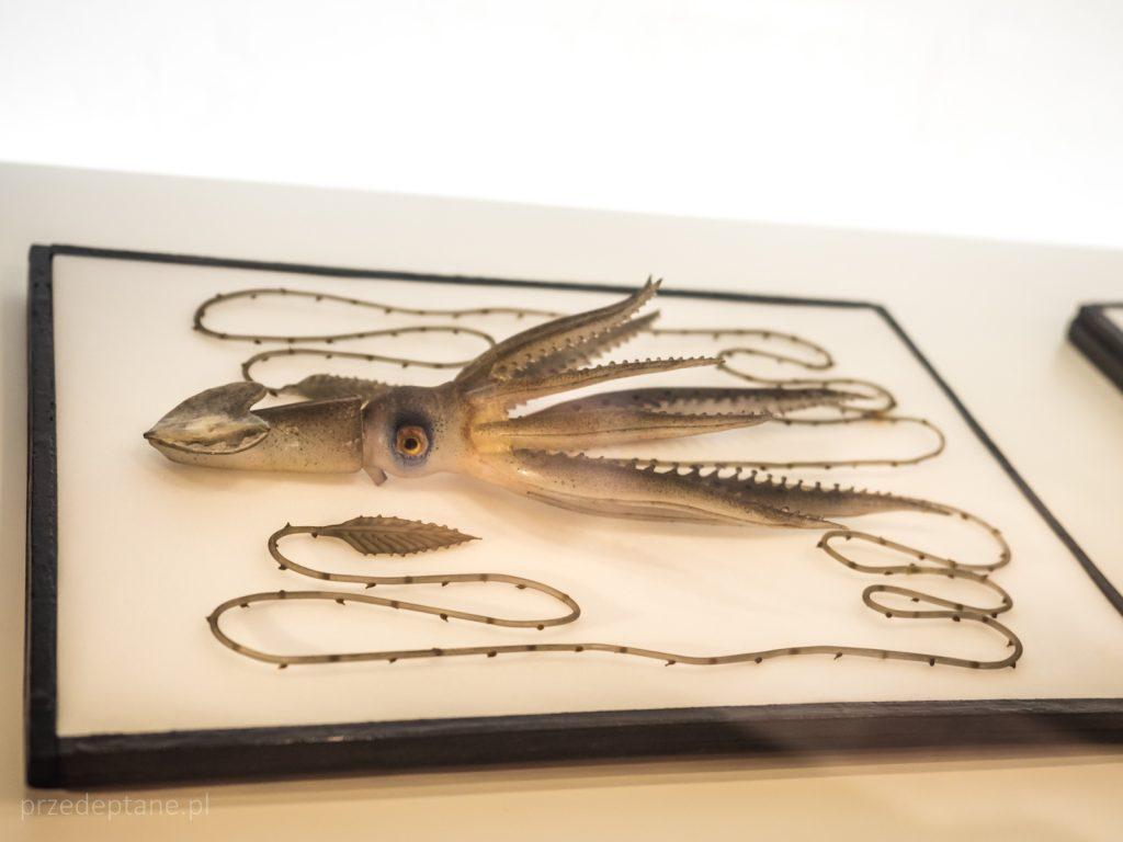 szklana kałamarnica, Muzeum Historii Naturalnej, Wiedeń