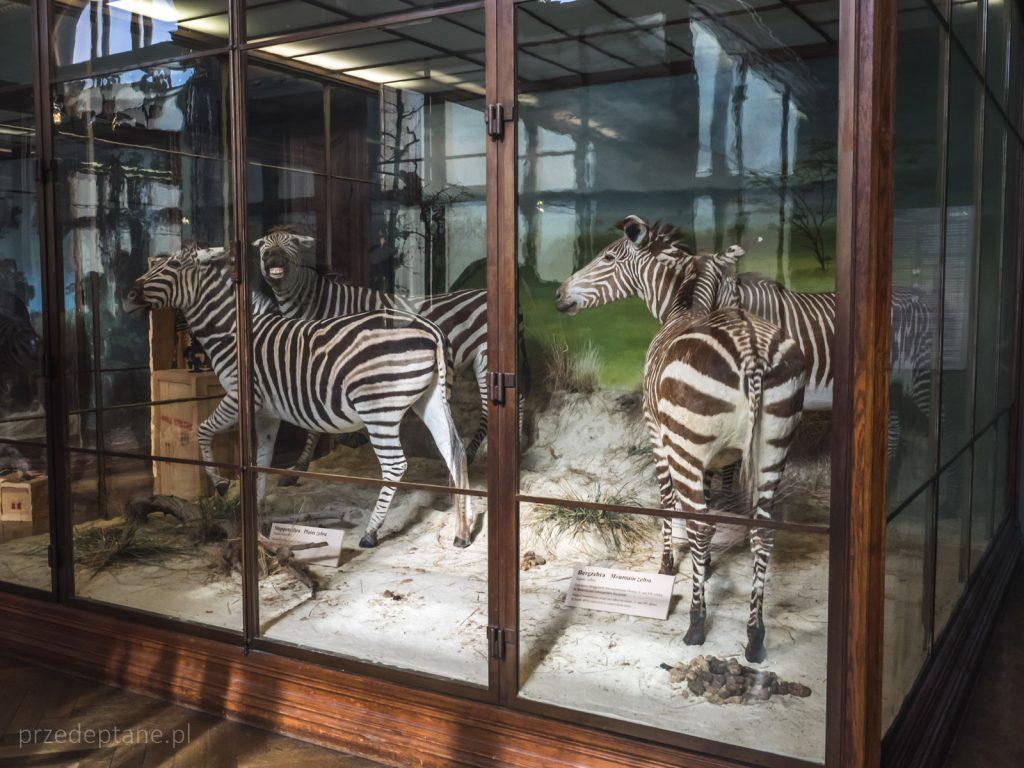 Muzeum Historii Naturalnej, Wiedeń, zebry