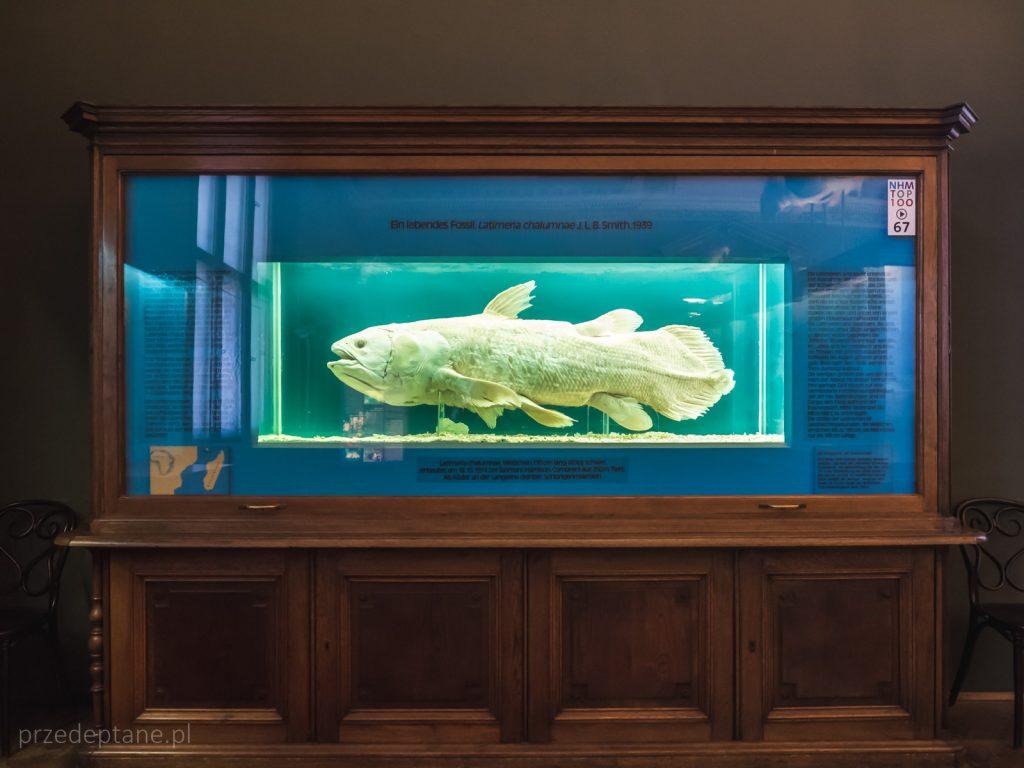 latimeria, Muzeum Historii Naturalnej w Wiedniu