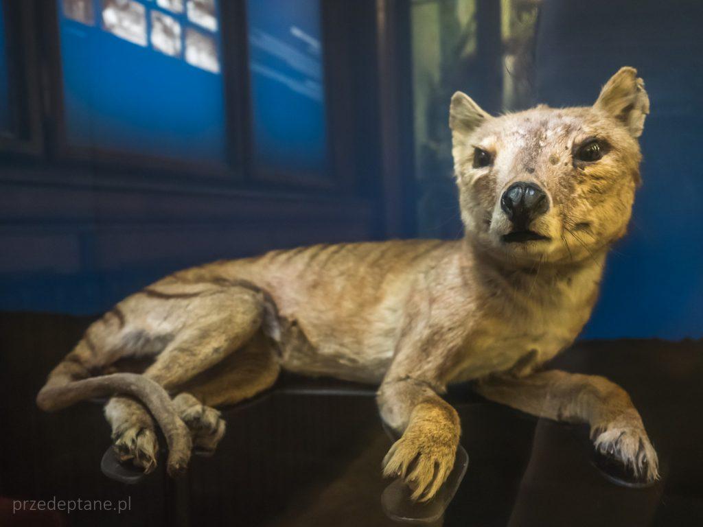tygrys tasmański, wilkowór, Muzeum Historii Naturalnej, Wiedeń, Austria