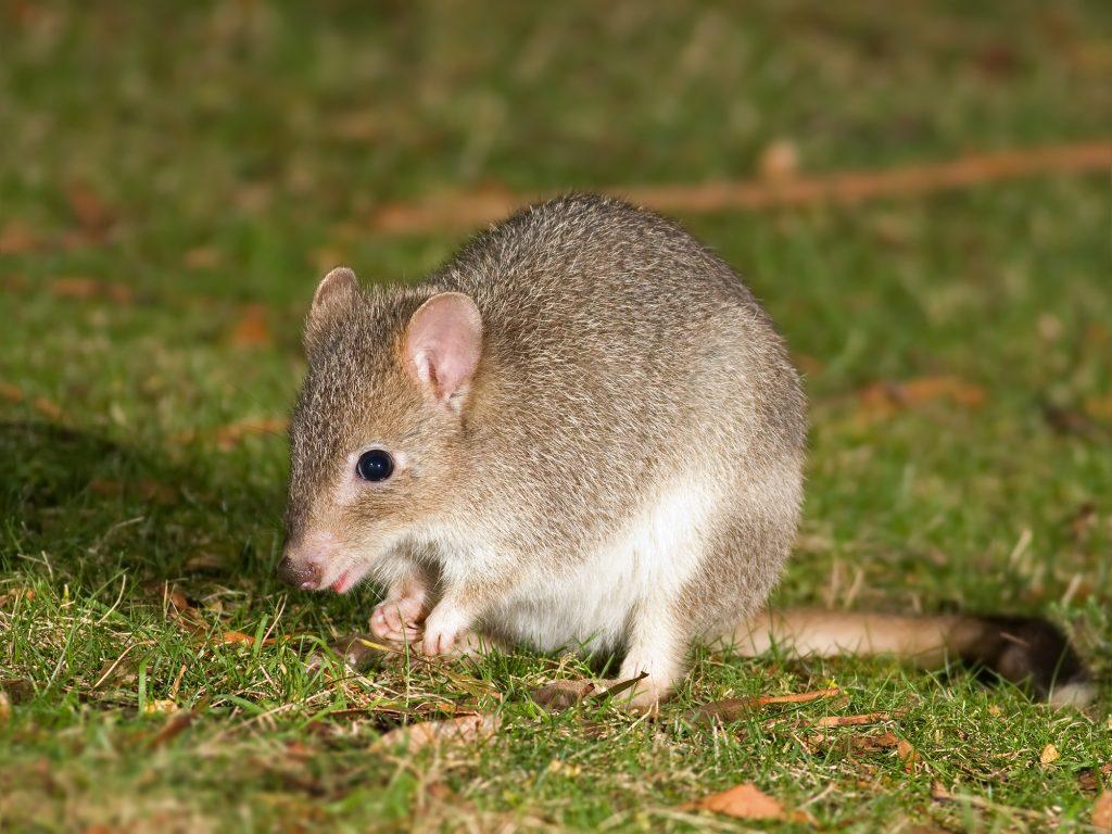 bettong kanguroszczurnik