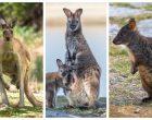 kangur walabia pademelon Tasmania torbacz Australia