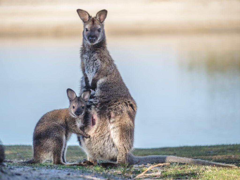 walabia torbacz Australia
