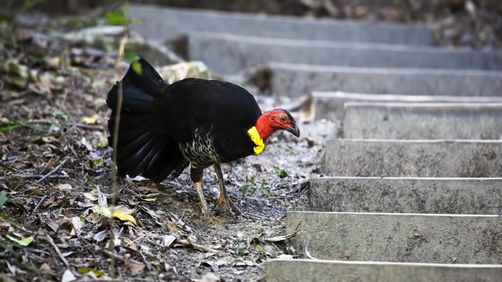 Nogal brunatny - australijskie ptaki - zwierzęta