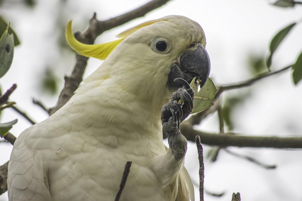 Kakadu żółtoczuba http://pl.wikipedia.org/wiki/Kakadu_%C5%BC%C3%B3%C5%82toczuba